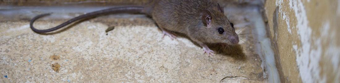 הדברת עכברים -הדברות השפלה