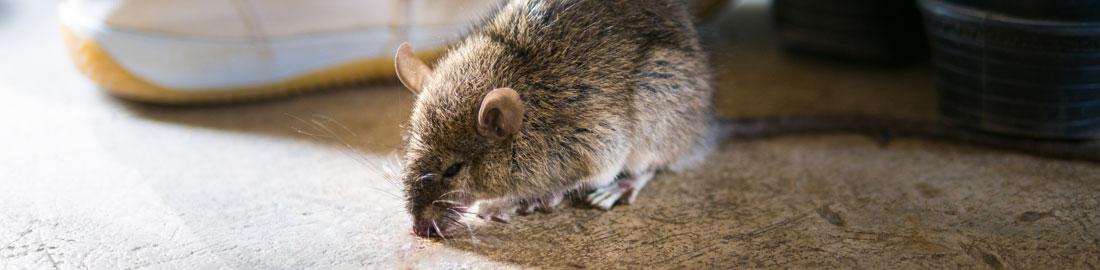 הדברות עכברים -הדברות השפלה