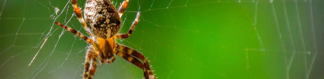 הדברת עכבישים -הדברות השפלה